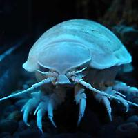 Tiefsee Isopod <br/>Foto von coda